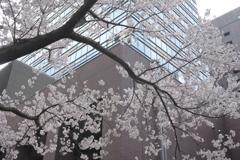 桜並木とビル