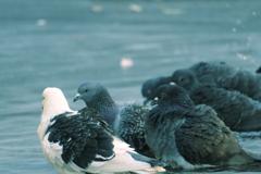 雨あがの鳩たち