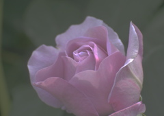 薔薇の名前~しのぶれど