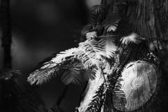 メタセコイアの若葉
