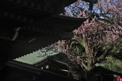 五條天神本殿屋根と梅