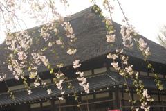 古民家と枝垂れ桜