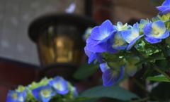 紫陽花と灯り