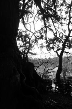太朗杉と梅