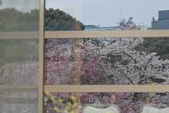 硝子に映る桜