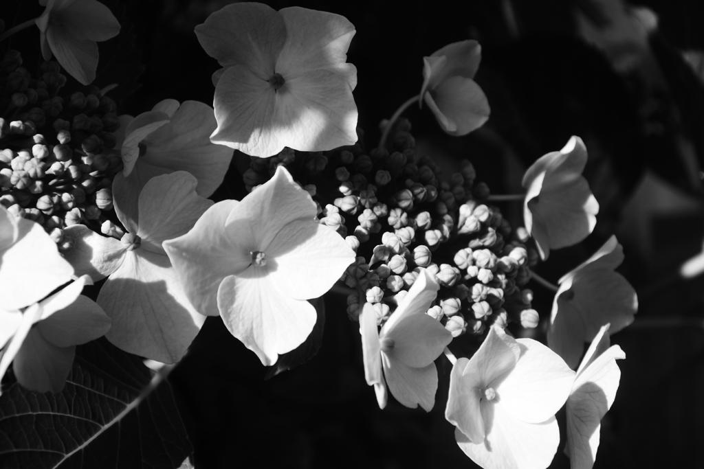 日陰の額紫陽花