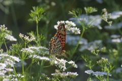 コリアンダーと蝶