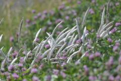 荒川河川敷の花1