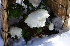 雪と白さを競う