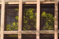 窓に映りこむ若葉