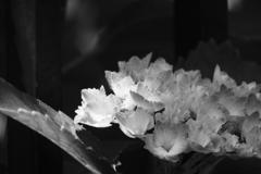 紫陽花 モノクロ