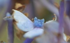 マクロレンズレッスン 紫陽花