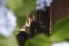 紫陽花の間から覗く