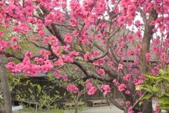 花桃の咲く里の家