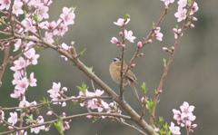 桃の枝にとまった鳥