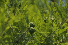 新緑のメタセコイア