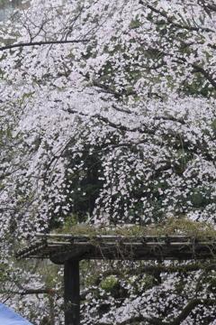 六義園 枝垂桜1