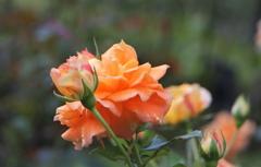 陽だまりのような薔薇