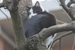 中山散歩で出会った猫たち 柿の木の上