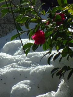 残り雪と山茶花
