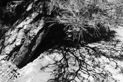 境内の松 モノクロ