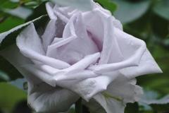 薔薇の名前~青の軌跡