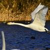 初白鳥撮影⤴