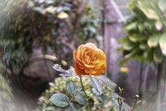 庭の一輪の薔薇