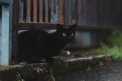近所の黒猫