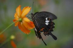 アゲハチョウ1