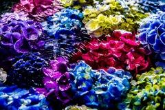 手水舎いっぱいの紫陽花