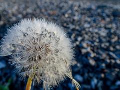 綿毛の花火