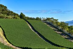 ゲレンデのような茶畑