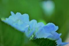 紫陽花~これから