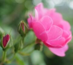 薔薇(1)