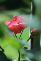 気づけばそこにも薔薇