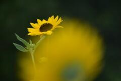 紫陽花の季節が終わる前に、、、