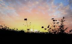 コスモス畑から夕陽を