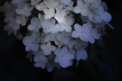 2018初夏 紫陽花