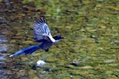 オナガの飛翔