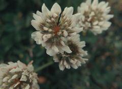 クローバの花