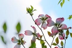 区の木開花