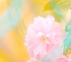 フェンス越しの八重桜