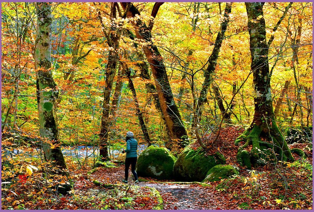 奥入瀬渓流「遊歩道.黄葉縁日」