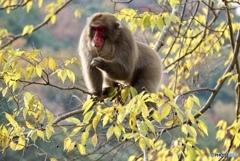 野生のお猿さん 木ノ実を食べる