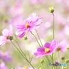 秋桜のお花畑・*・゚✽.。.:*・゚