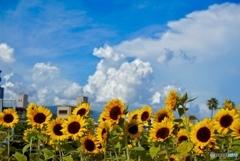 入道雲☁️ と 向日葵