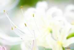 Lycoris 〜white
