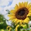 夏の太陽のような花