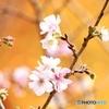 十月桜と黄葉